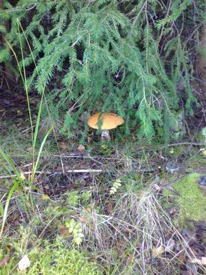Härliga höst. Såg denna mysiga svamp uti skogens kant bland granar och grenar...