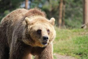 En björnhona med ungar har skjutits i Härjedalen under tisdagen. Arkivbild, Mostphotos, Anders Johnsson,  2013-09-04