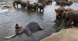 Elefanterna badar i en flod nära hemmet  i Pinnawala.