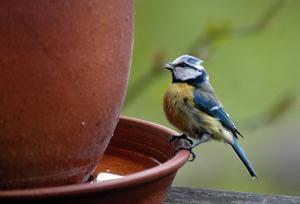 Småfåglarna behöver tillgång till vatten.