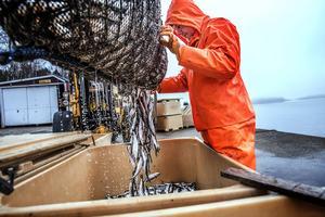 Tonvis med strömming tas in under högsäsongen på våren. Förra året fick Hannells under tre majdagar in 60 ton.