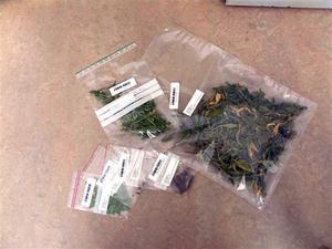 Beslaget som polisen gjorde i en lägenhet i Bergsjö i veckan. Totalt handlar det om två kilo cannabisplantor och 50 gram hasch.