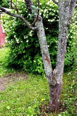 KLART. Så här ser Anna Malins plommonträd ut efter beskärningen. På det vänstra stammen syns var grenarna skavde mot varandra och på den högra var trädet beskurits.