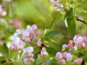 Paradisäppelträdet i full blom