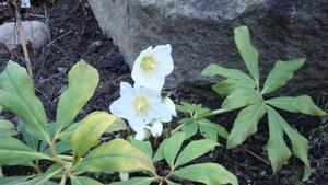 På morgonen den 27 december hittade jag denna fina blomma i min trädgård.