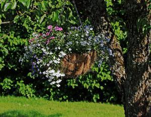 Carina gillar att hänga amplar i träden.