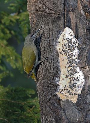 Gråspett: (Pi´cus ca´nus) Art i fågelfamiljen hackspettar. Den blir 25–28 centimeter, är grön på ovansidan och grå undertill; den är därmed lik gröngöling men mindre. Hanen har dock rött endast på främre delen av hjässan, och honan saknar helt rött. Den livnär sig huvudsakligen av insekter, bland annat myror, men äter också frukter och kan suga sav från hål som gjorts av andra hackspettar. På vintern kommer den ibland fram för att ta för sig av upphängd talg.
