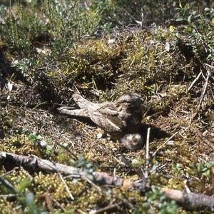 Nattskärran bygger inget eget bo. Hon lägger sina två ägg direkt på marken, gärna i barrmattan på en upptrampad skogsstig. Här med en av sina dunungar.