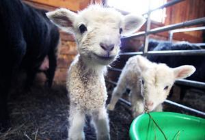 På Lars Norlunds gård i Söderala finns det massor av lamm i olika åldrar. De här är fyra dagar gamla och riktigt nyfikna.