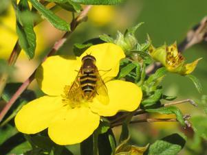 Ölandstokens klara gula blomma har fått insektsbesök