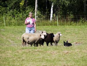 Vallare. Bordercollien Mattis från Hållnäs lyckades tillsammans med matte Gunilla Johansson, att valla in fåren i fållan.