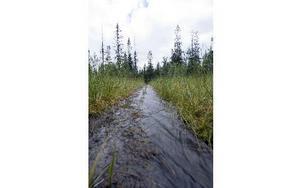 Efter några minuters vandring från Storfjäten mot Sömlinghågna möts man av plankor att gå på men vattnet  dominerar ändå. Foto: Mikael Forslund