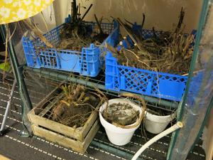 Dahliaknölarna har grävts upp och förvaras i champinjonlådor under vintern.