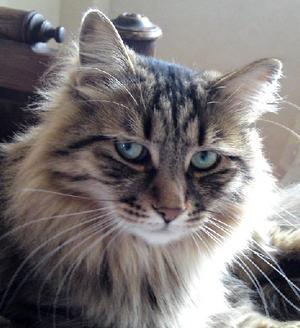 Miro, sibirisk katt 4 år. Ägare: Maria Hedmark, Falun.