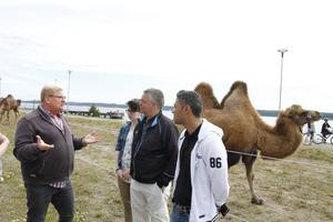 Bengt Källquist visar upp kamelerna för moderaternas Jonas Holm och Kamran Khalil.