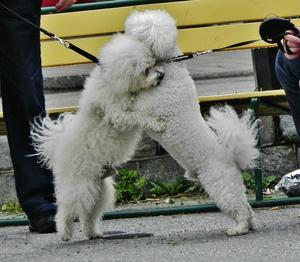 Även hundar kan bli glada och stöta på en gammal kompis på stan. Här är det två som ger varann en rejäl kram!