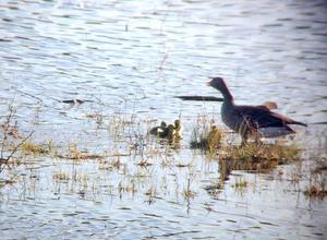 Under fågelskådningens dag sågs grågässens ungar.