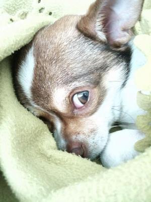Chihuahuan Zigge älskar att ligga och värma sig i vårsolen.