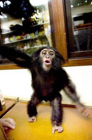 en tuff fröken. Minstingschimpansen Selma, 10 månader,  är bra mycket tuffare än vad adoptivsyrran Manda var vid samma ålder.