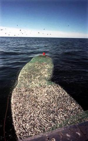 Lokala fiskare försöker protestera de stora foderfisketrålarna, men utan resultat.