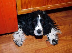 Hotellhunden Wilma har blivit en favorit bland hotellets gästerFoto: Jan Andersson