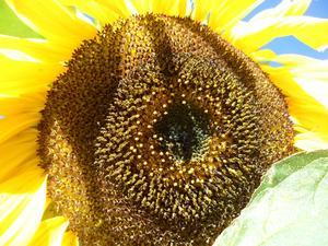 Den här magnifika solrosen är så otroligt snygg.Jag blir på soligt(he he) humör bara av att kolla på den.Snacka om växtkraft....
