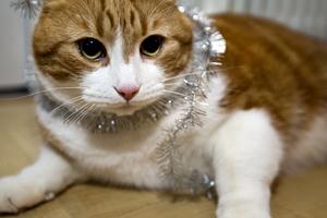 Mätt och däst. Årets Lussekatt 2008 Sputtnik vilar ut efter att ha fått glitter om huvudet, slickat tårta och fått en massa fotoblixtar i ögonen.