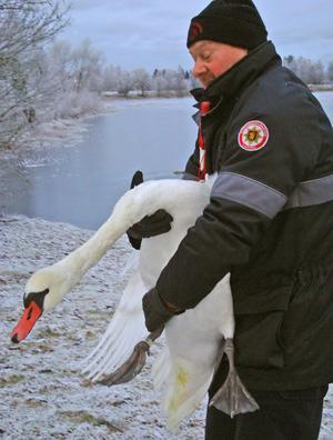Äntligen är svanen på fast mark och åter i frihet med hjälp av Olle Björk från Ljusdals räddningstjänst.