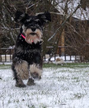 Hunden Casper älskar snö och att springa lös.
