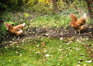 Två av arten Lhomans är kvar på gården. Damerna gillar att gå fritt och ibland får de lyxen att komma in och äta kattmat.