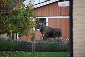 Tagen den 4 oktober 0700 i trädgården. Han hade sällskap i form av älgko med kalv och en kviga.