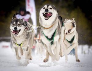 Jämtlänningen Nisse Uppströms entusiastiska hundar i full fart i skogen utanför Nornäs.