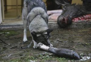 Alla vi som varit med om att mista en hund vet att orden inte räcker till i sorgen men de dramatiska historierna om vargar som dödar hundar för att påvisa vargens grymhet tenderar med jägaren som avsändare att bli både patetiska och lite genanta, menar insändarskribenten.