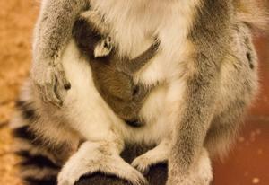 Den lilla lemuren säger till VLT att
