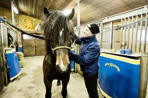 Linnéa Holappa sköter B:W. Modde, ynglingen i gänget, bara tre år gammal, som är en av fyra nominerade kallblod.