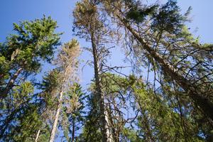 Många träd på platsen har angripits av granbarkborren.