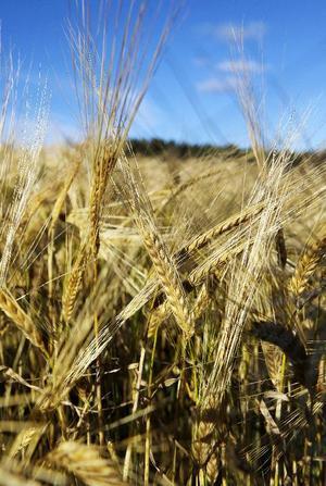 Vete odlas över hela världen. Vete kan användas till mat, främst bakning, men också till djurfoder och bränsle.