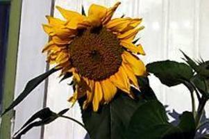 Foto:SCANPIX Nickande solrosor blickar under lugg, skriver Lars Krantz i dagens trädgårdskrönika.