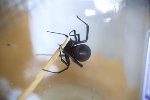 Spindeln äter insekter och flugor.