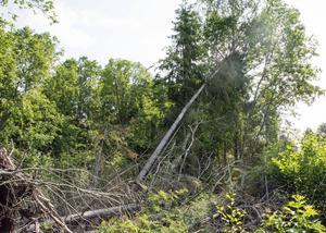Flera träd är fortfarande på väg att falla och utgör en fara för personer som rör sig i området.