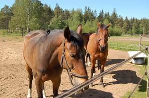 Gamla. Medelåldern på Mora ridklubbs hästar är 17 år, vilket är fem år äldre än riksgenomsnittet.