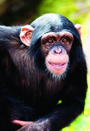 Schimpansen Manda.