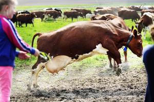 En ko väger runt 600 kilo men den skuttar lätt ändå.