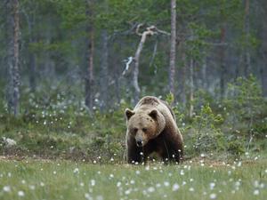 Trots att björnen kom lufsande rakt mot Lars var han aldrig rädd.