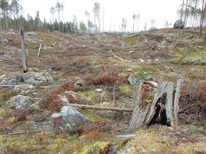 Brännvinsbergets centrala del med 40 signalarter är idag ett hygge. Nu är Sveaskog på gång igen. Bolaget ska fragmentera och avverka den lilla ännu intakta nordligaste delen av Brännvinsberget, skriver debattörerna. Foto: Sebastian Kirppu