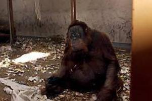 Arkivbild: GD Inte längre ensam. Nu har Igge fått en ny partner. Han heter Nyong och är en tolvårig tuffing från Basel. Tyvärr vill inte Nyong vara med på bild. Han är fortfarande sliten efter den krångliga flytten från Schweiz, där han har kvar sin familj. Målet är att Igge och Nyong ska skaffa egna små orangutang-ungar.