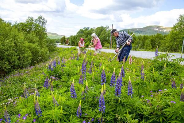 Ylva Lind, Anngreth Myhr och Ture Myhr hjälper byalaget i Tänndalen att röja bort lupinerna för att få tillbaka den naturliga floran av ängsblommor och orkidéer i dikena.