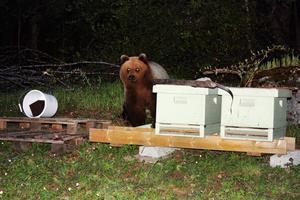 Den honungssugna björnen tog för sig ur bikuporna medan rovdjurshandläggaren Daniel Hansson fotograferade.