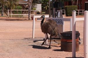 Som jag har undrat! Mitt i Australiens outback fick jag äntligen svaret vad en emu