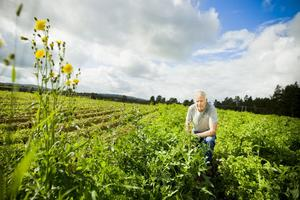 Börje Wallin har odlat potatis i 34 år. I år tror han på en normalskörd, eller kanske lite bättre än normalt.